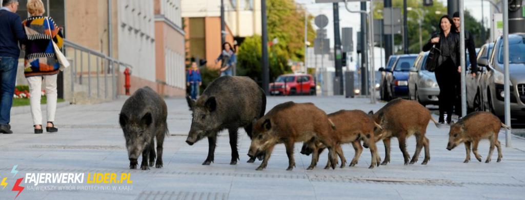 Dziki w mieście